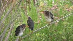 three green heron chicks perching