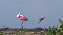Black-necked Stilt and Roseate Spoonbill near lake