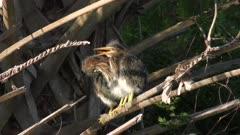 green heron chicks perching