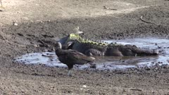 alligator eats fish in a drying muddy pond