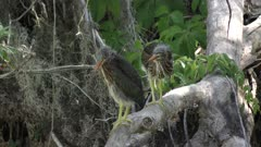 two young green herons on a log