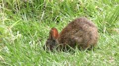 Marsh Rabbit feeds on grass in Florida wetlands