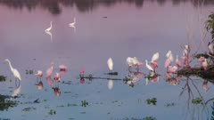 Roseate Spoonbills and egrets at sunset in a lake