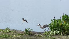 Black-necked Stilts attack great blue heron to protect their nest