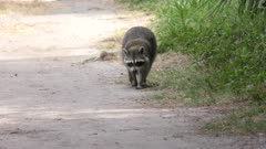 Raccoon walking along a trail