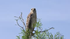Red-Shouldered Hawk on a top of tree