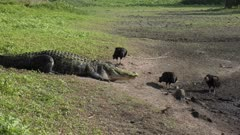 alligator walks down to drying pond for fishing