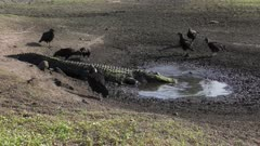 alligator eating fish in the drying up pond