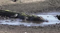 alligator swallows fish in the drying up pond