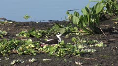 Black-necked Stilt on a nest