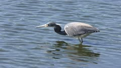 Tricolored Heron feeds on fish