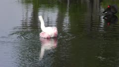 Roseate Spoonbill takes a bath