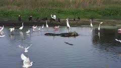 birds and alligators feeding in a pond