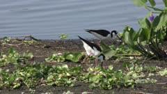 Black-necked Stilts near the nest