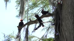 Pileated Woodpeckers on a branch
