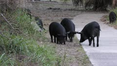 wild hogs feed in a park