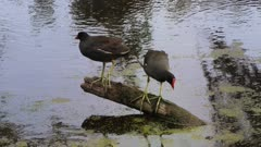 two Common Gallinules at sunset