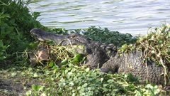 alligator with a turtle in its jaws