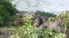alligator growling with a turtle in its jaws