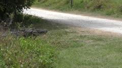 large alligator crossing road