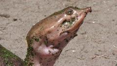 Florida Softshell Turtle , close up