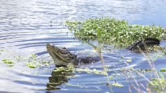 alligator mating call in Florida lake