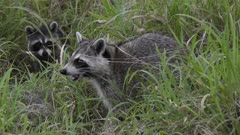 raccoons feed in the grass