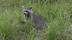 Raccoon feeds in Florida wetlands