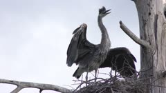 immature Great blue heron in a nest
