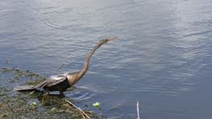 Anhinga diving in a lake
