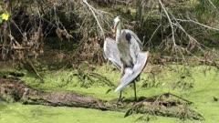 Great Blue Heron sunning on a log