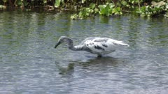 immature Little Blue Heron fishing in a pond