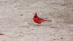 male Northern Cardinal feeds on the ground