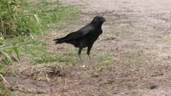 Fish Crow trying to find the turtle eggs