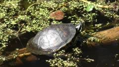 Florida Red-bellied Turtle basking