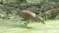 immature Black-crowned Night-Heron feeds in a swamp