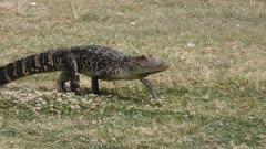 young American alligator walking