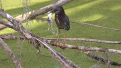 Green heron swallows a frog