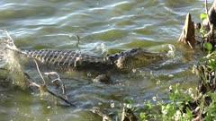 alligator fishing near the bank of lake