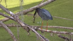 Green heron with a frog in Florida wetlands