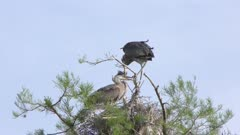 young Great blue herons in a nest