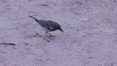 Northern Parula bird feeds on insects