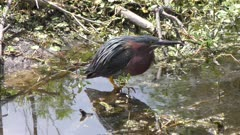 Green Heron cooling off in the water