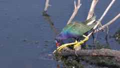Purple Gallinule feeds in a lake