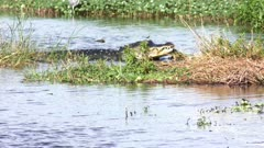 Large alligator feeds on Florida Gar fish