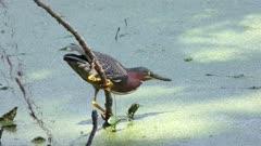 Green Heron fishing in a swamp