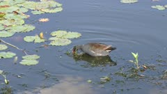 Common Gallinule feeds in a lake