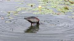 Glossy Ibis feeds in a lake
