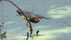Green Heron fishing in Florida swamp