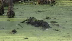 large American alligator in a swamp